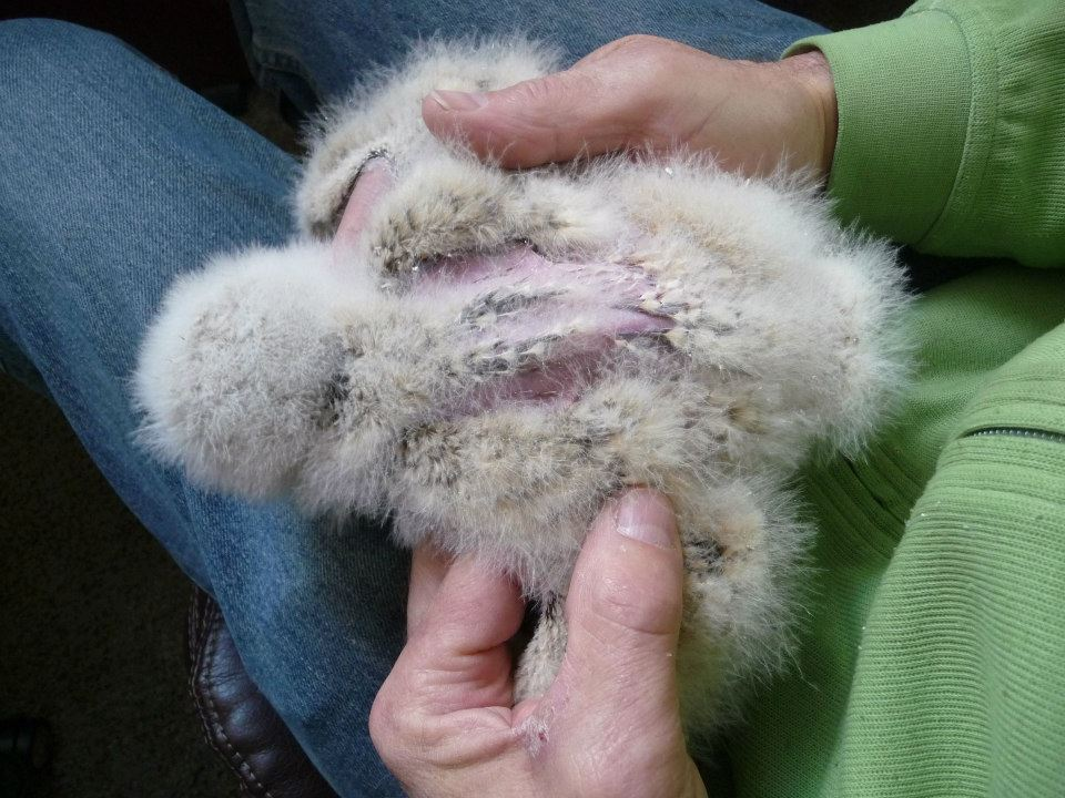 photo of an owlet's back, showing areas without feathers.
