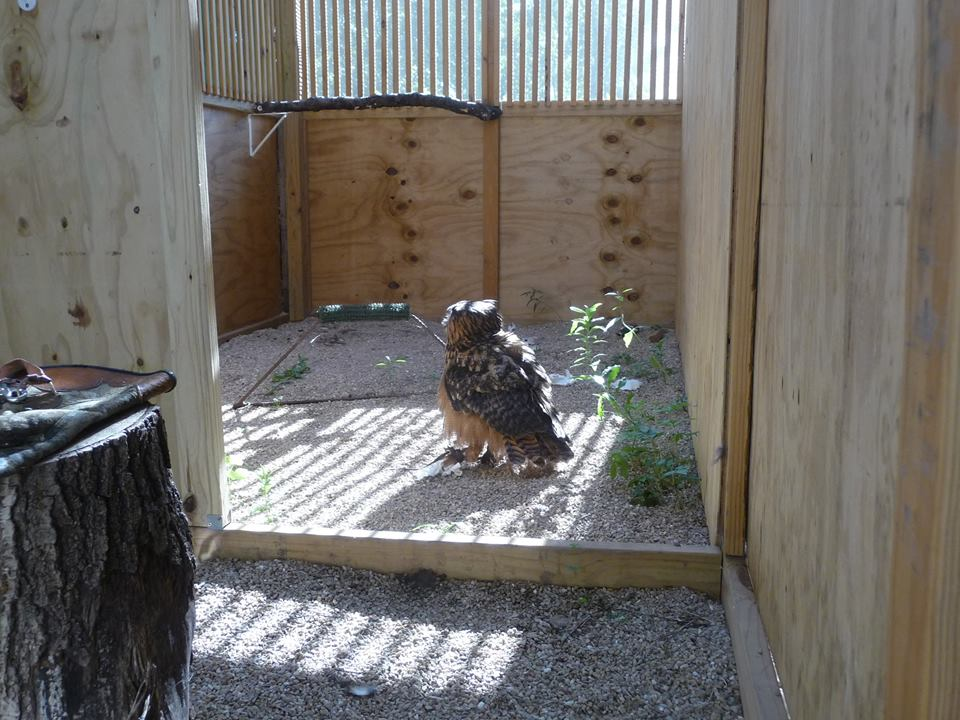 Photo of Uhu the Eurasian Eagle Owl on the floor in her enclosure