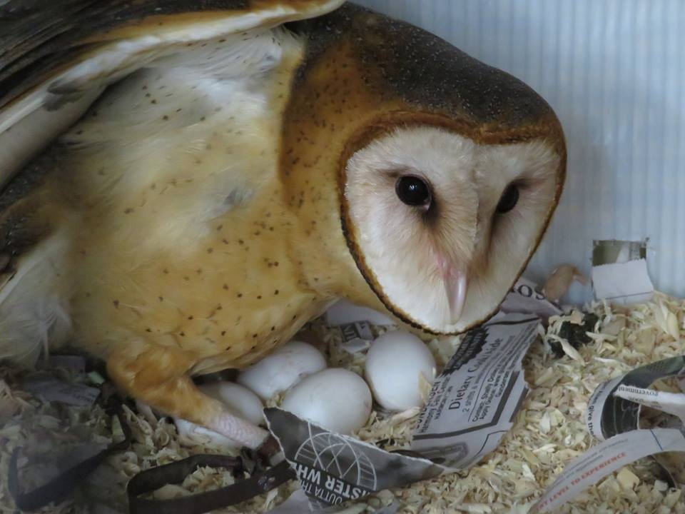 Photo of Piper the barn owl defending a clutch of 4 eggs