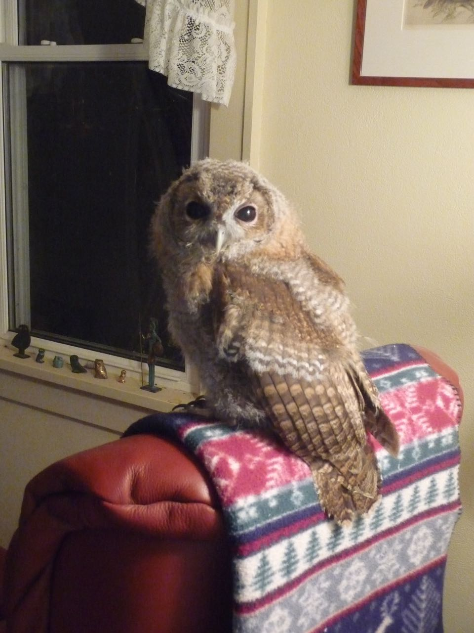 Mitzy the tawny owl sitting on the back of a chair with a blanket under her