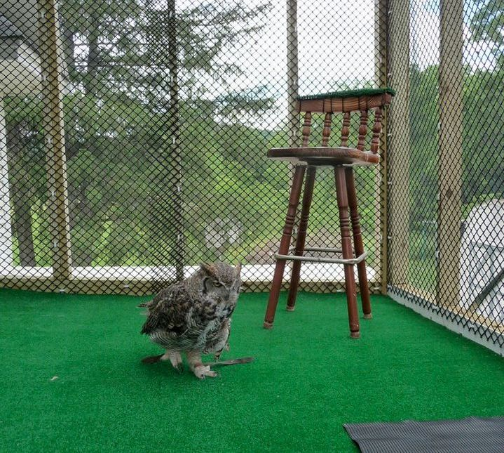 photo of Alice the Great Horned Owl on her patio.