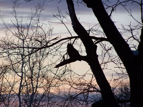 The silhouette of a Great Horned Owl in a tree against a dusk sky