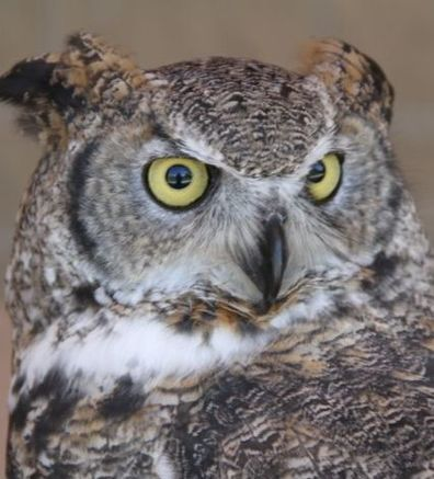 Photo of Alice the great horned owl's face
