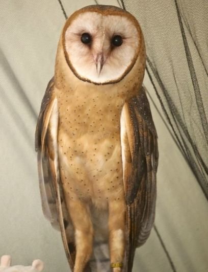Photo of Piper the Barn Owl
