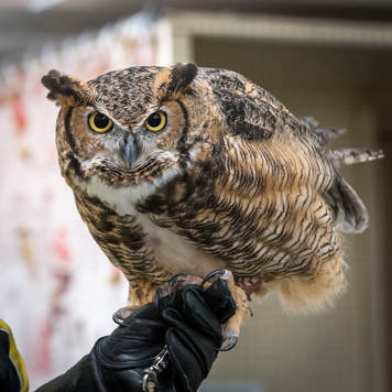 Photo of Ruby the Great Horned Owl