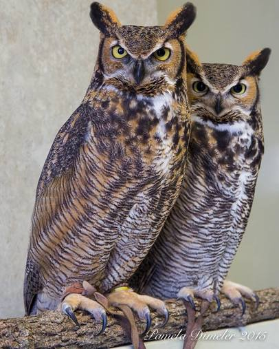 Photo of Ruby and Rupert the great horned owls