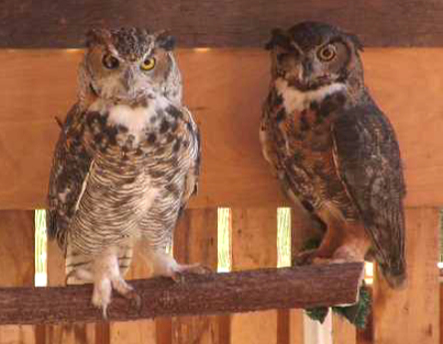 Photo of Iris and Rusty the great horned owls