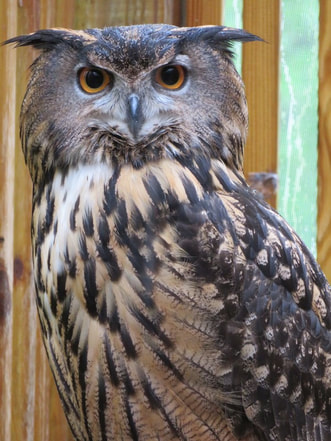 Photo of Uhu the Eurasian Eagle Owl