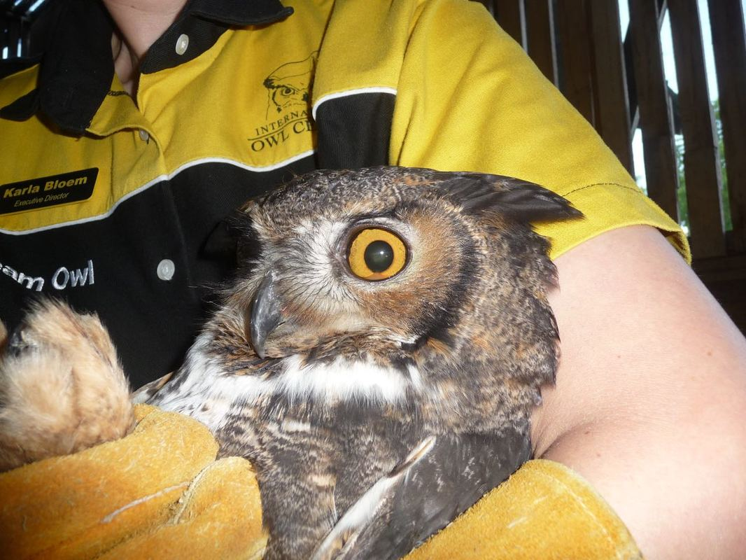 Karla holding Rusty the great horned owl