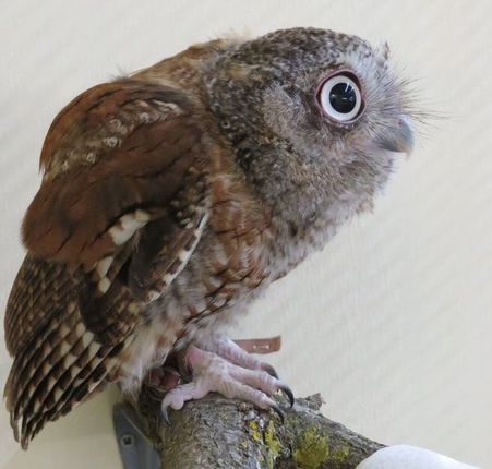 Photo of JR the Eastern Screech-Owl
